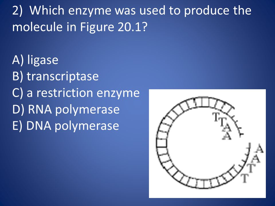 13) Which enzyme cuts DNA molecules at specific locations.
