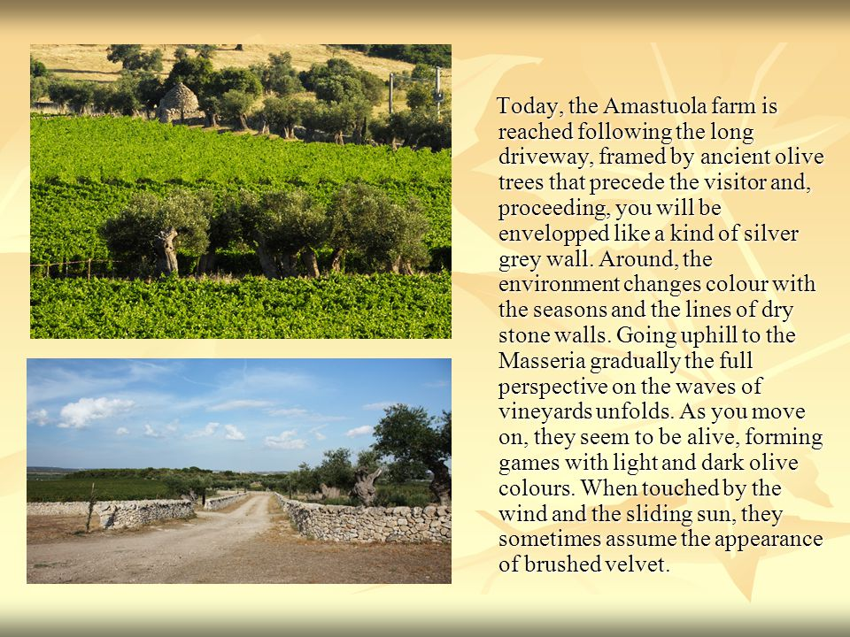 Today, the Amastuola farm is reached following the long driveway, framed by ancient olive trees that precede the visitor and, proceeding, you will be