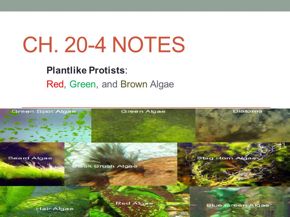 CH. 20-4 NOTES Plantlike Protists: Red, Green, and Brown Algae
