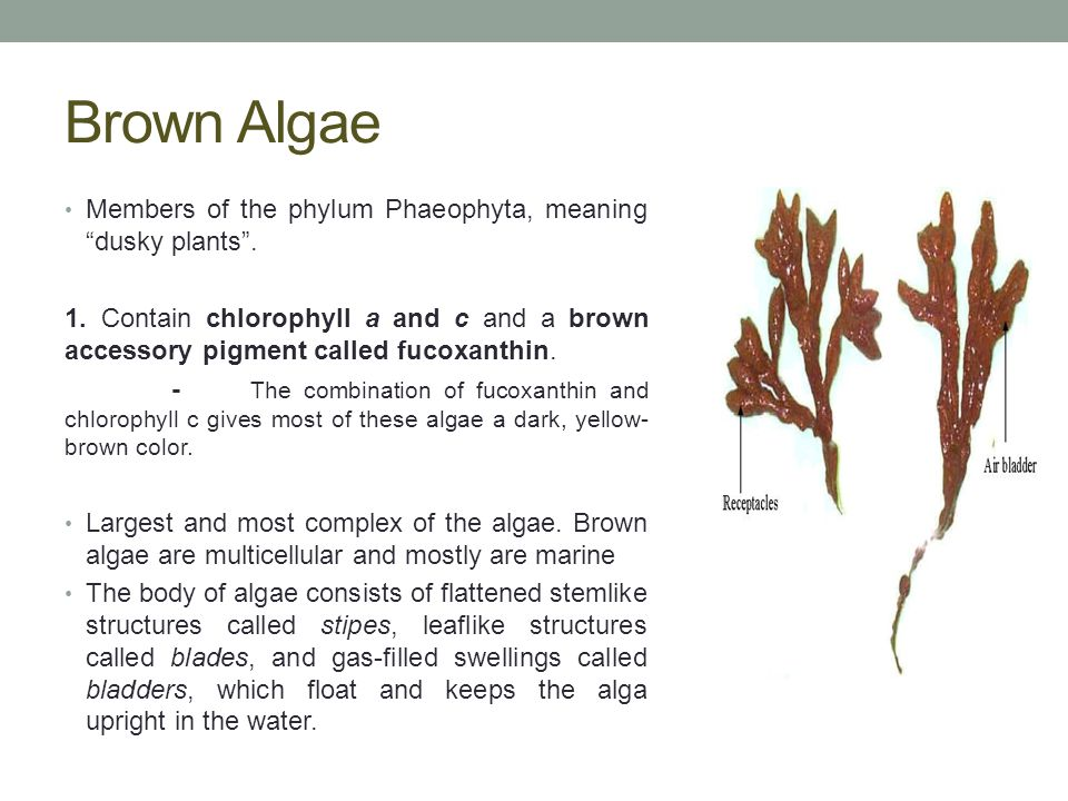 Structures of Brown Algae