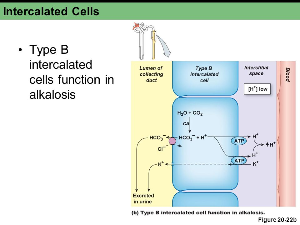 Intercalated Cells Type B intercalated cells function in alkalosis Figure 20-22b
