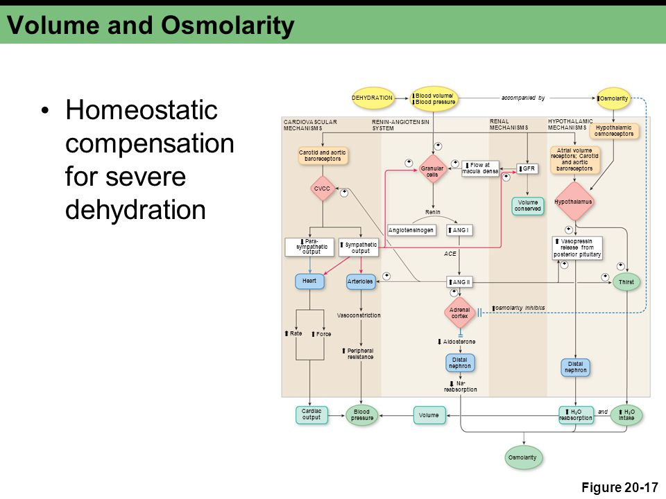 Blood volume/ Blood pressure Osmolarity accompanied by osmolarity inhibits CVCC + Para- sympathetic output Sympathetic output Heart Force Rate Cardiac