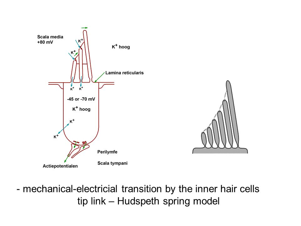 - mechanical-electricial transition by the inner hair cells tip link – Hudspeth spring model