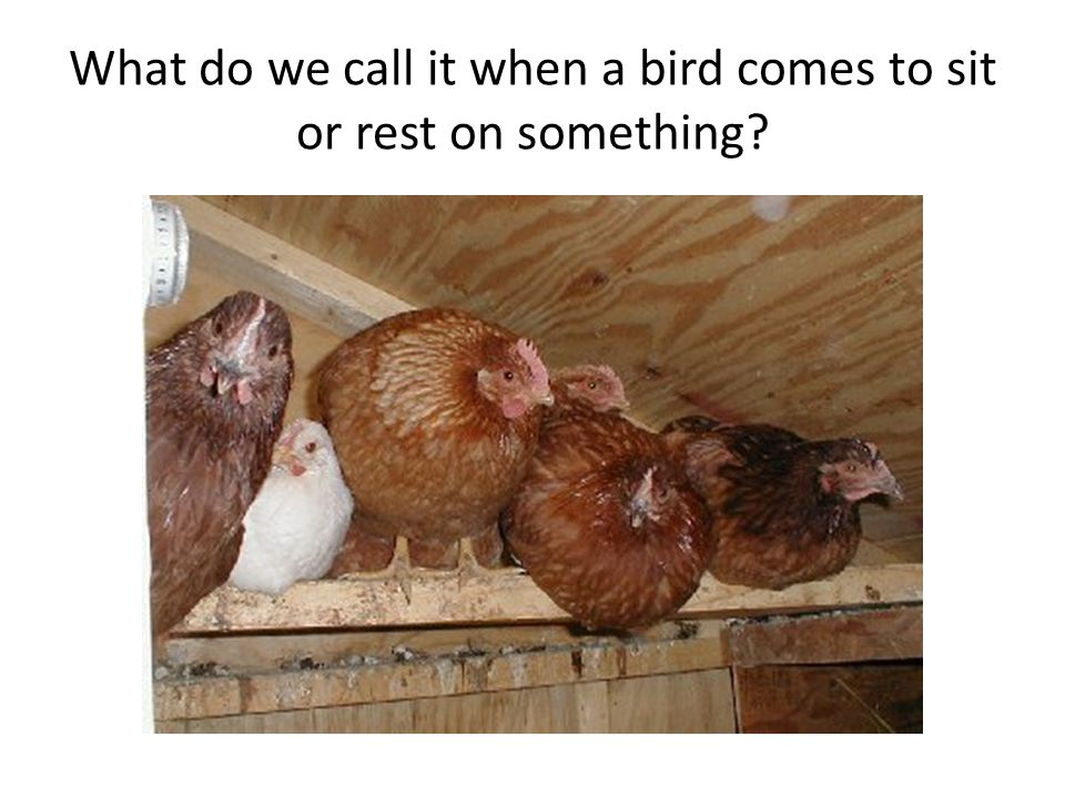 What do we call it when a bird comes to sit or rest on something