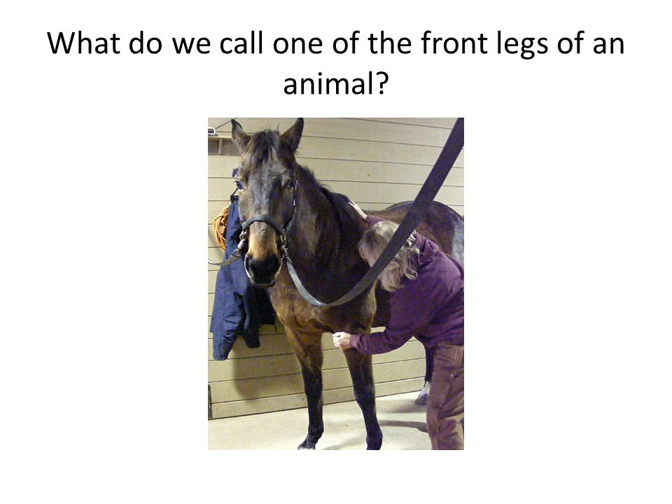 What do we call one of the front legs of an animal