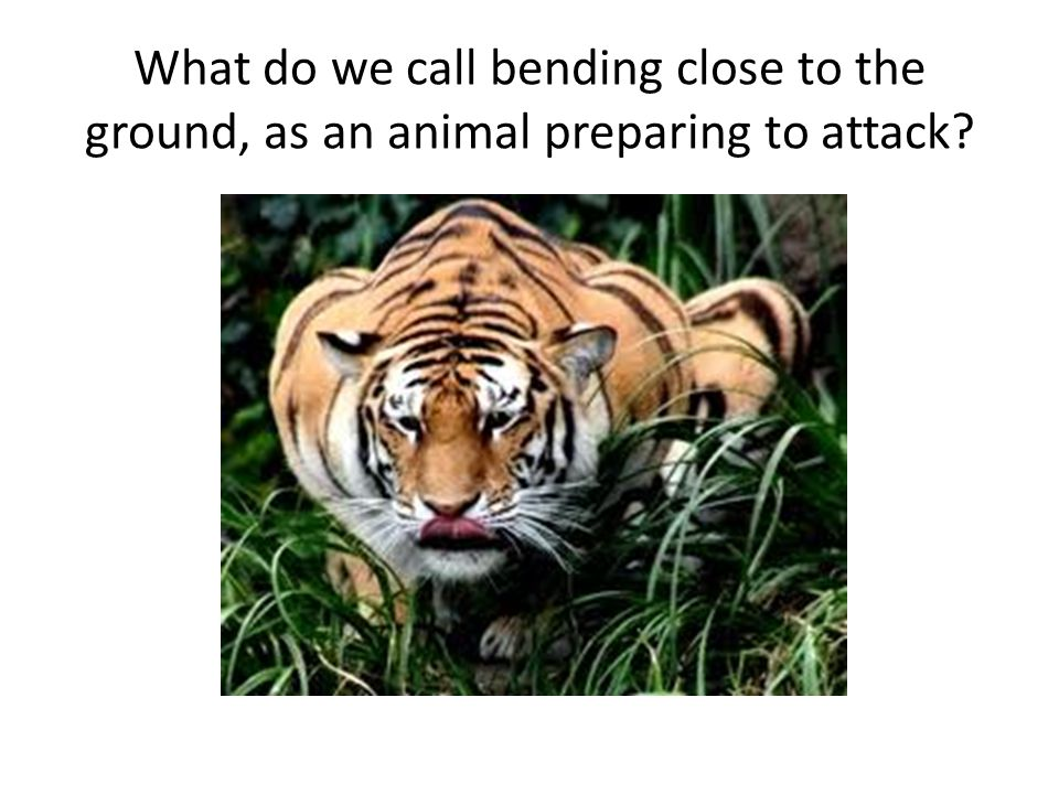 What do we call bending close to the ground, as an animal preparing to attack