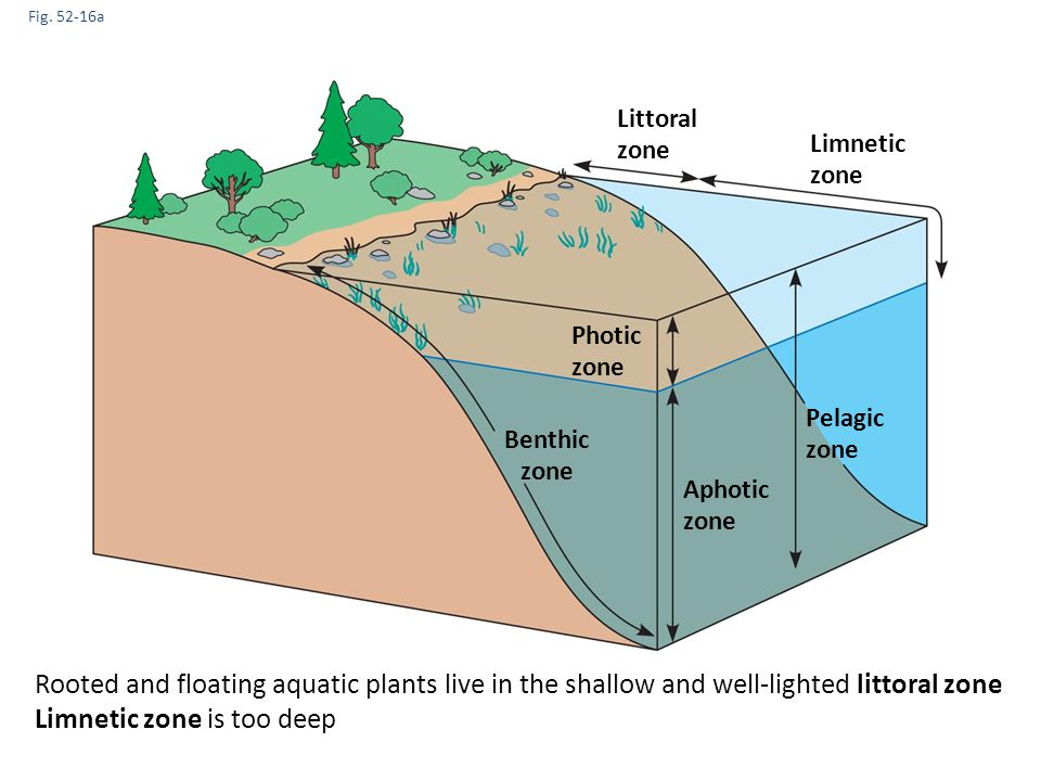 Fig. 52-16a Littoral zone Limnetic zone Photic zone Pelagic zone Benthic zone Aphotic zone Rooted and floating aquatic plants live in the shallow and