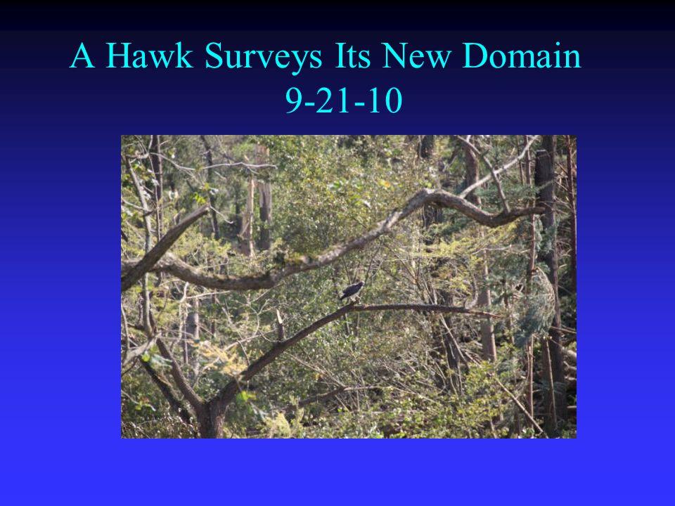 A Hawk Surveys Its New Domain 9-21-10