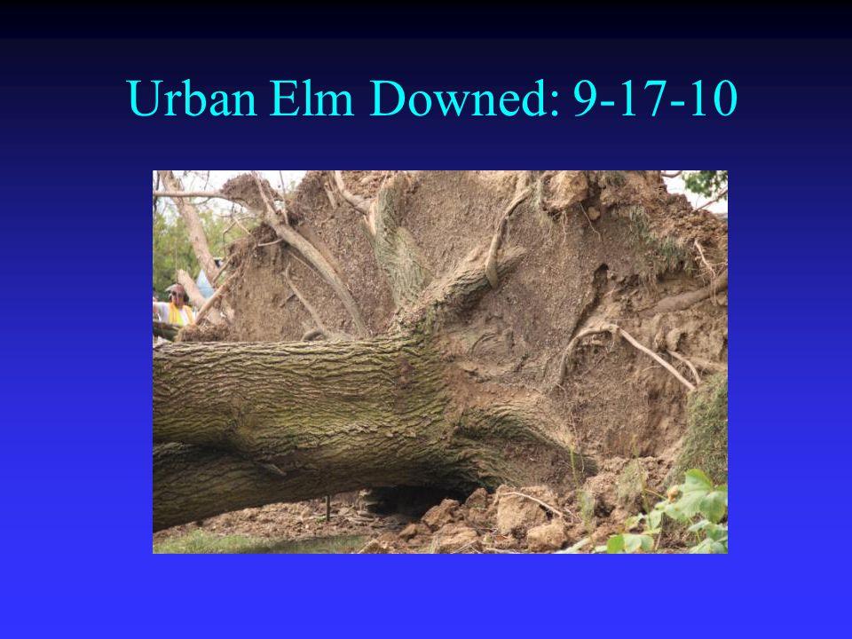 Urban Elm Downed: 9-17-10