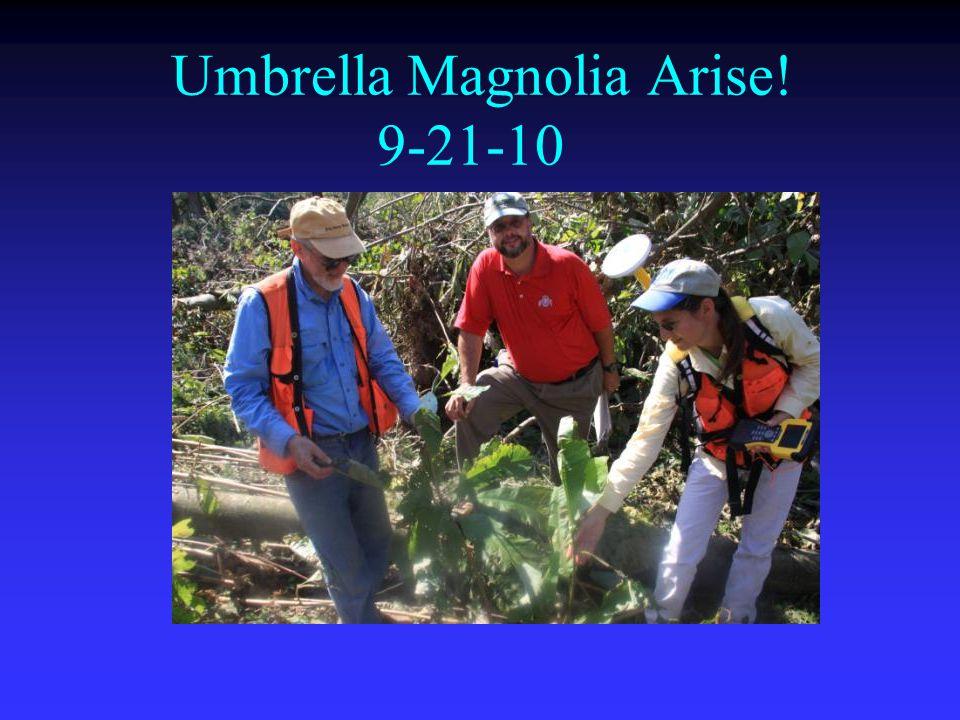 Umbrella Magnolia Arise! 9-21-10