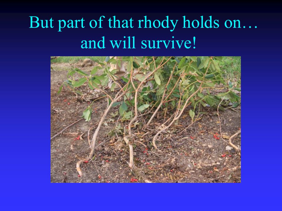 But part of that rhody holds on… and will survive!