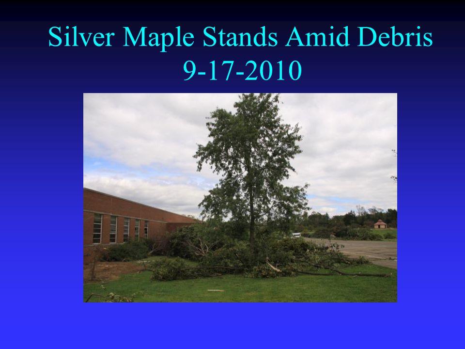 Silver Maple Stands Amid Debris 9-17-2010