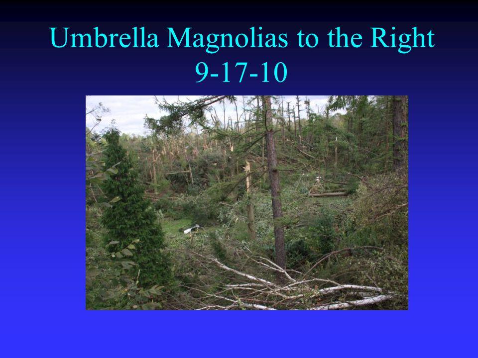 Umbrella Magnolias to the Right 9-17-10