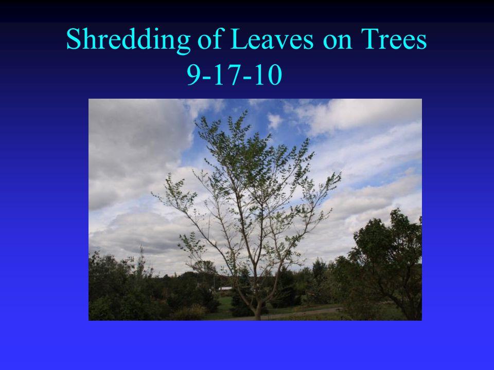 Shredding of Leaves on Trees 9-17-10
