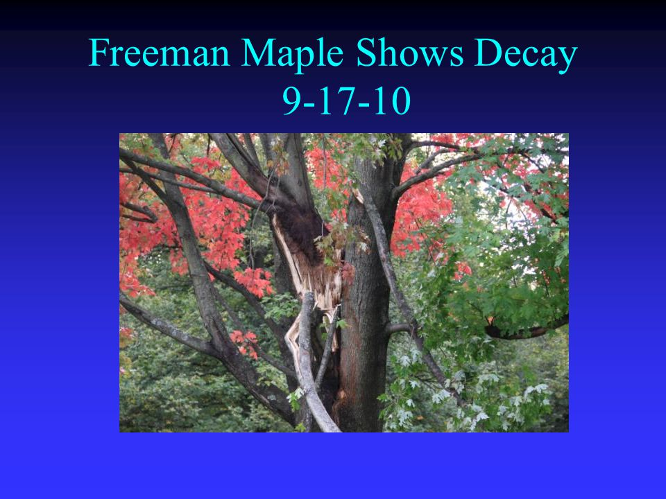 Freeman Maple Shows Decay 9-17-10