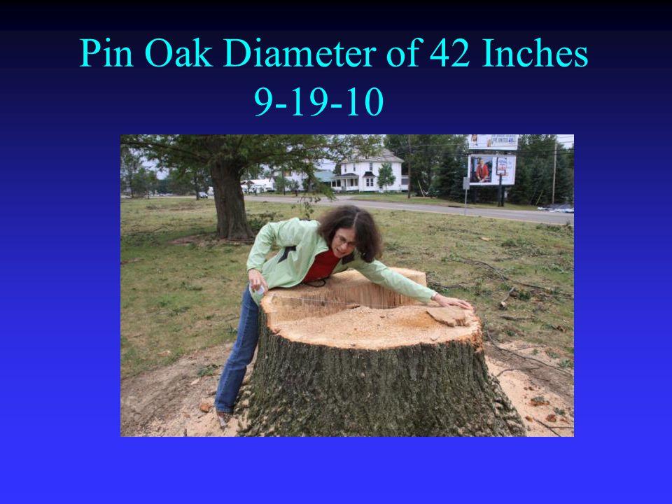 Pin Oak Diameter of 42 Inches 9-19-10