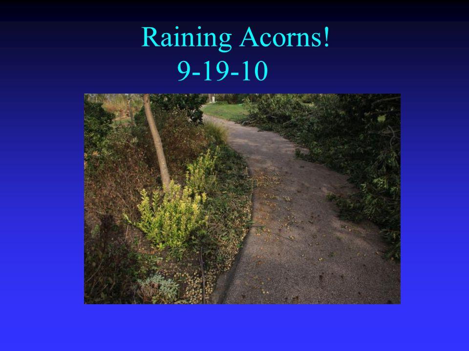 Raining Acorns! 9-19-10