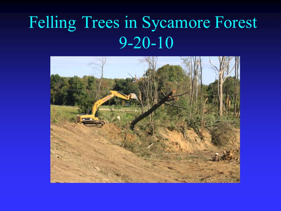 Felling Trees in Sycamore Forest 9-20-10
