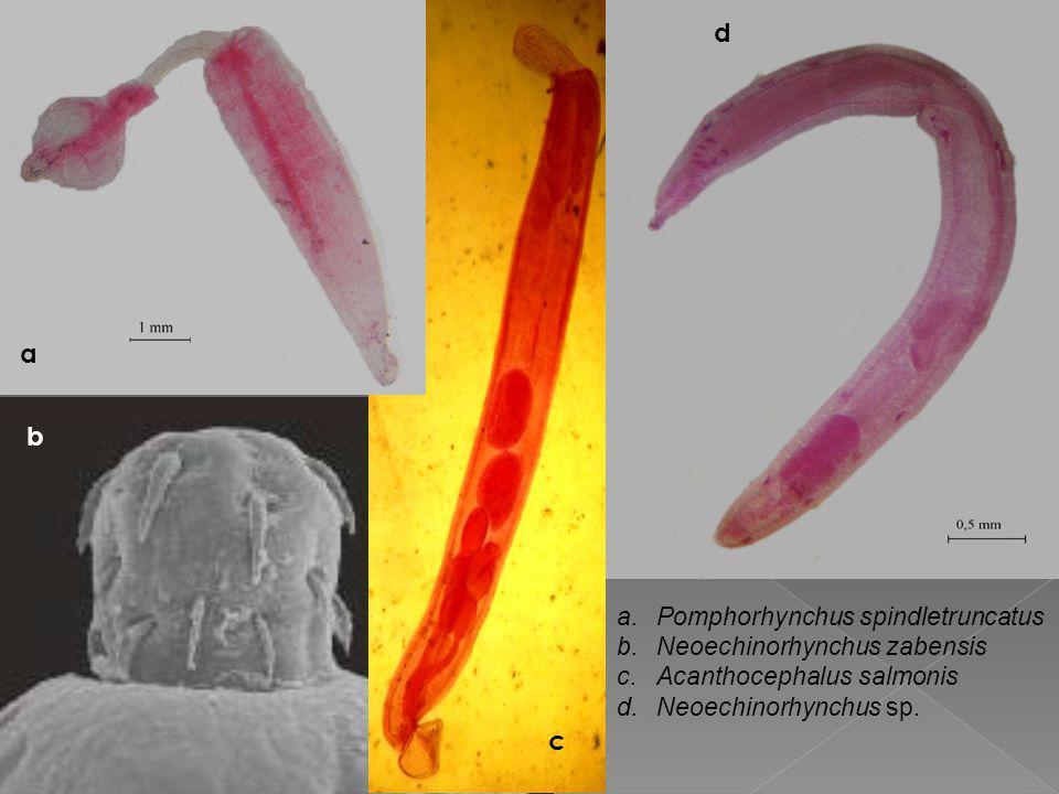 a b c d a.Pomphorhynchus spindletruncatus b.Neoechinorhynchus zabensis c.Acanthocephalus salmonis d.Neoechinorhynchus sp.