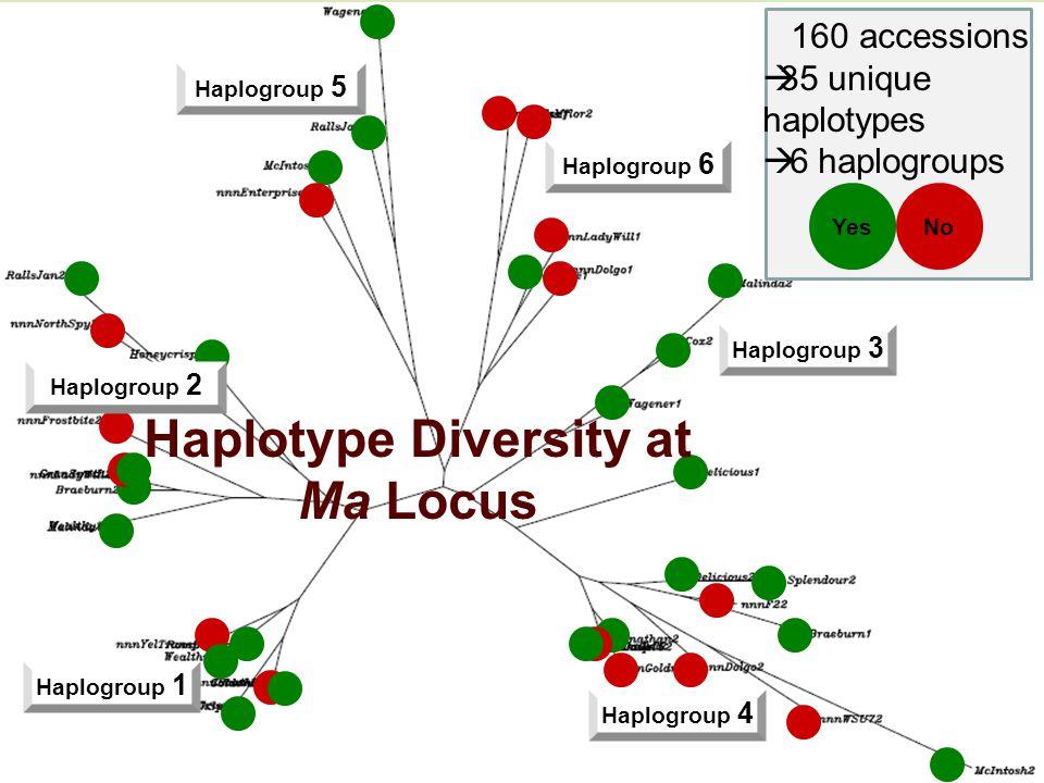 Haplotype Diversity at Zoomed-in Regions Haplogroup 6 Haplogroup 3 Haplogroup 4 Haplogroup 1 Haplogroup 5 Haplogroup 2 YesNo 160 accessions  35 unique haplotypes  6 haplogroups Haplotype Diversity at Ma Locus