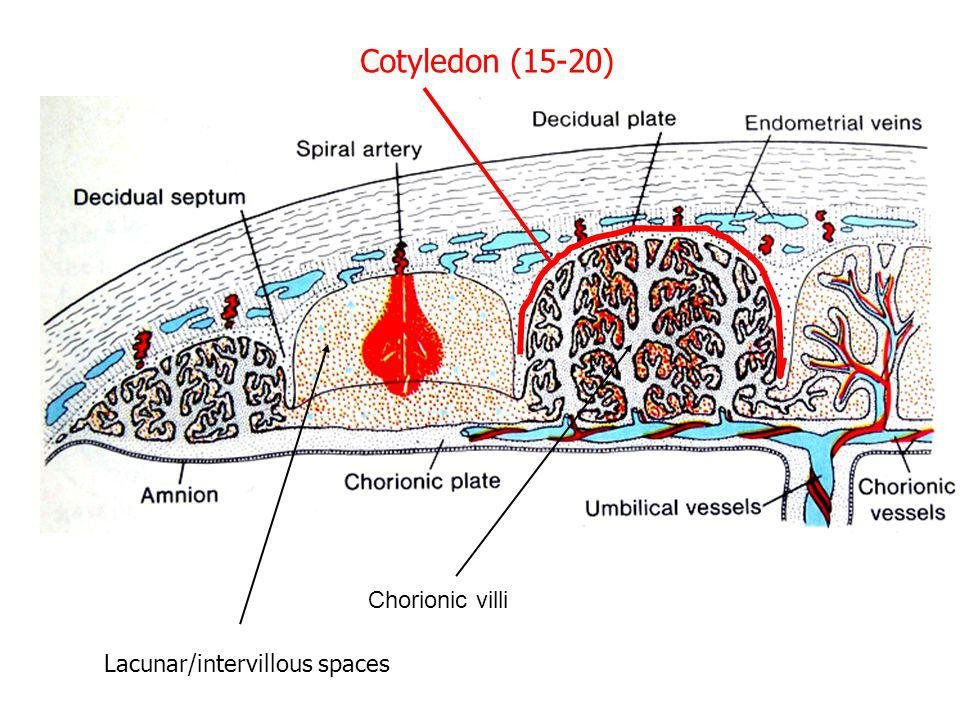 Chorionic villi Lacunar/intervillous spaces Cotyledon (15-20)