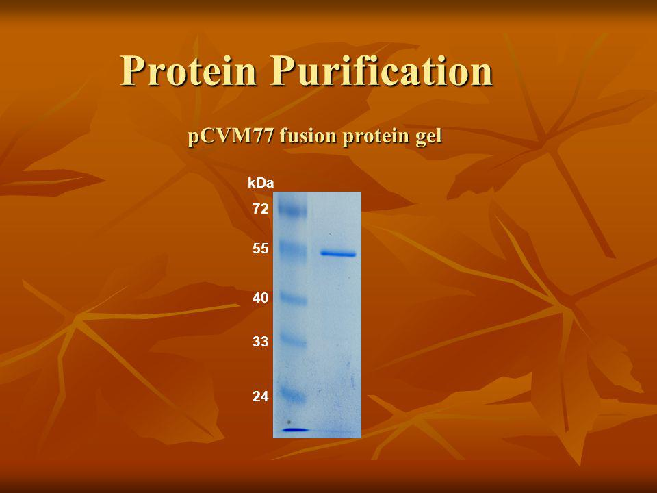 Protein Purification kDa 24 72 33 40 55 pCVM77 fusion protein gel