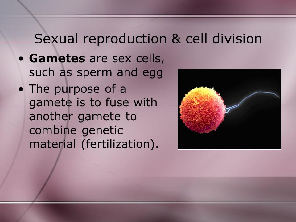 Sexual reproduction & cell division Gametes are sex cells, such as sperm and egg The purpose of a gamete is to fuse with another gamete to combine gen