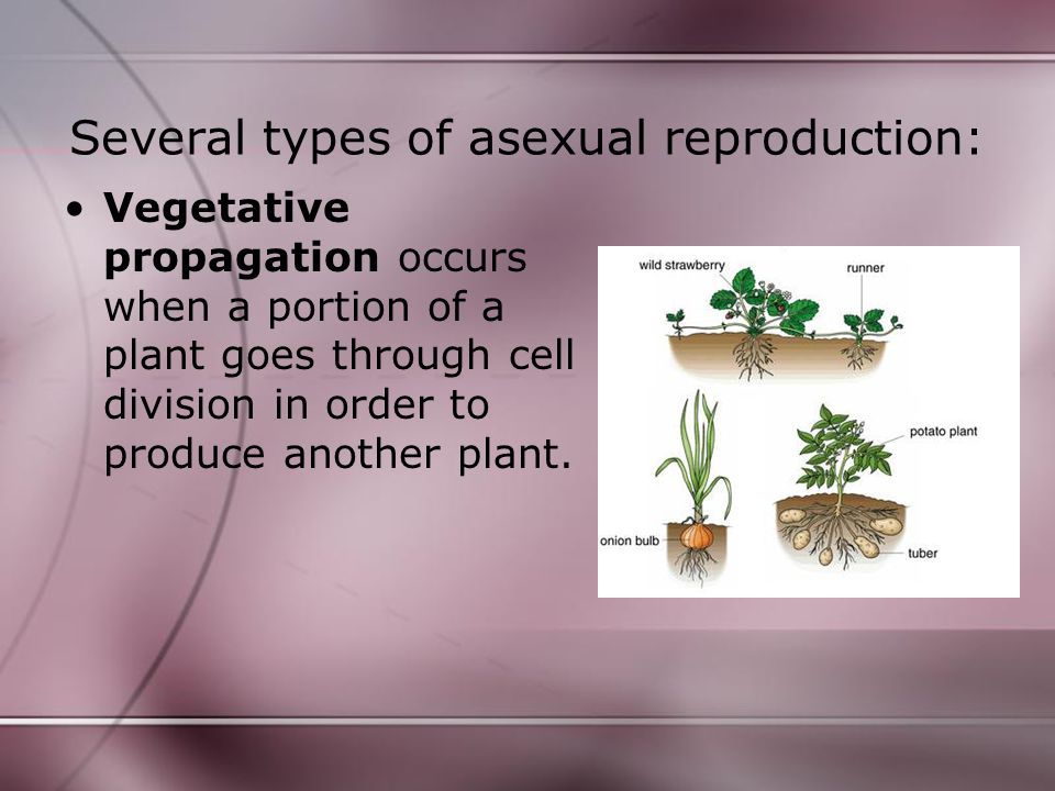 Check Yourself.1.How many sources of genetic material are involved in asexual reproduction.