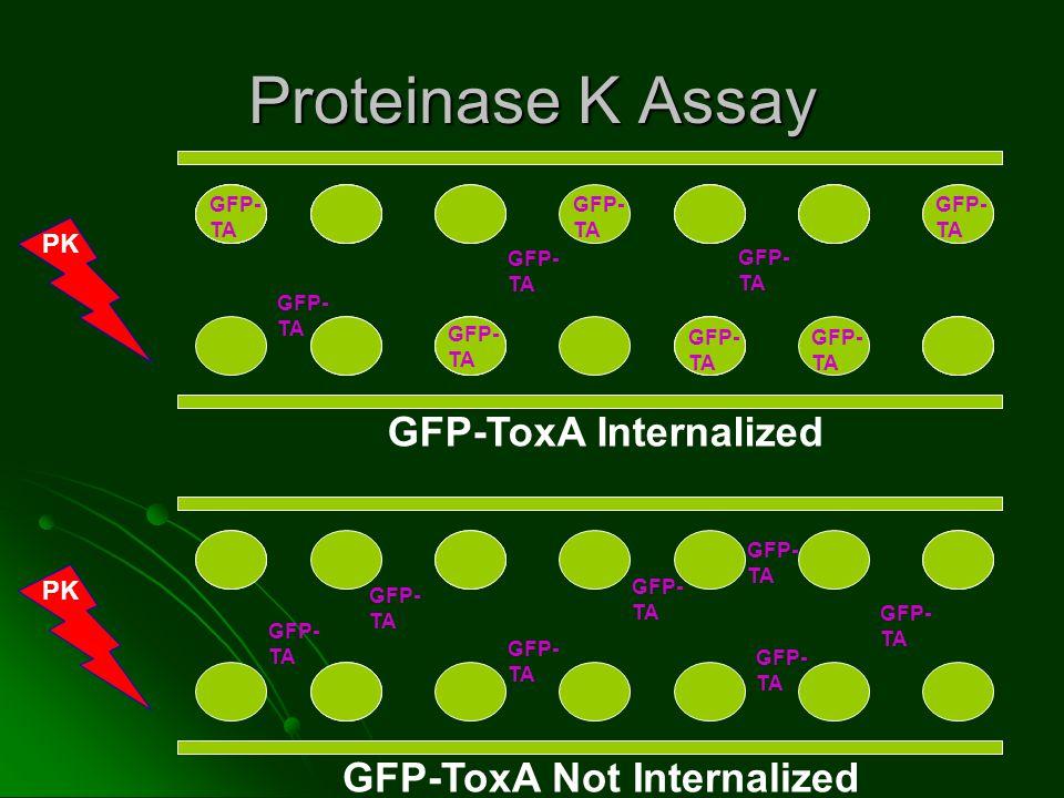 Proteinase K Assay PK TA PK GFP-ToxA Internalized GFP- TA GFP-ToxA Not Internalized GFP- TA GFP- TA GFP- TA GFP- TA GFP- TA GFP- TA GFP- TA GFP- TA GFP- TA GFP- TA GFP- TA GFP- TA GFP- TA GFP- TA GFP- TA