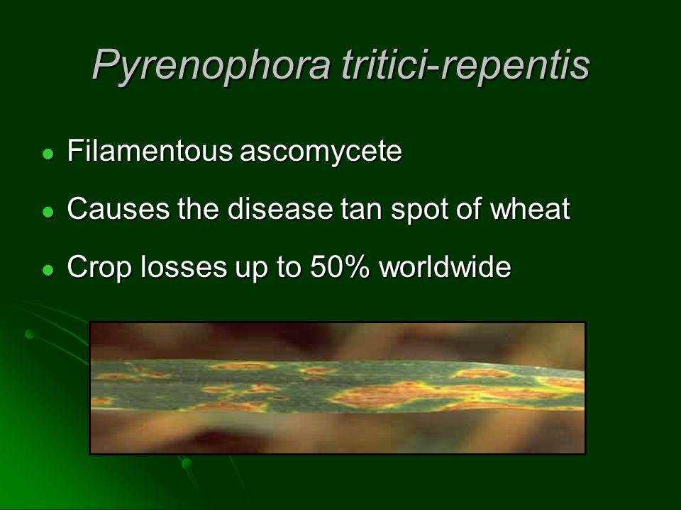 Host-selective Toxins Ptr ToxC Ptr ToxD Ptr ToxB Pathogen HST Ptr ToxA Ptr ToxA