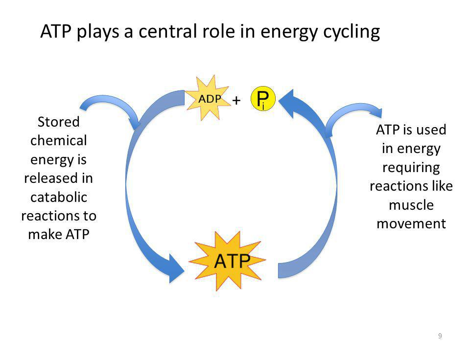 9 ATP plays a central role in energy cycling + Stored chemical energy is released in catabolic reactions to make ATP ATP is used in energy requiring reactions like muscle movement