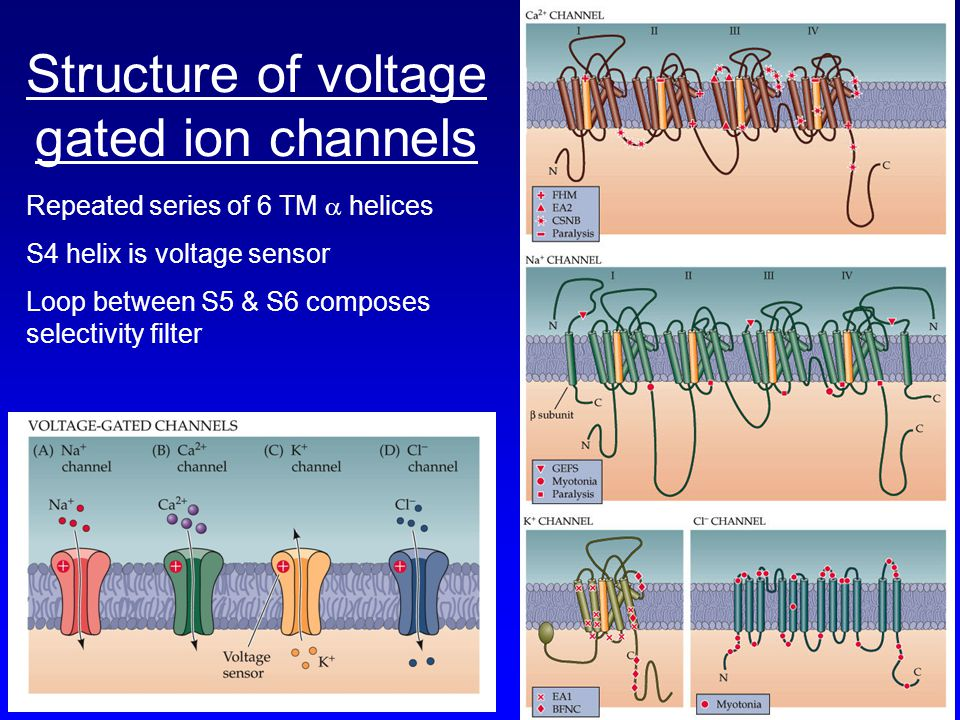 Structure of voltage gated ion channels Repeated series of 6 TM  helices S4 helix is voltage sensor Loop between S5 & S6 composes selectivity filter