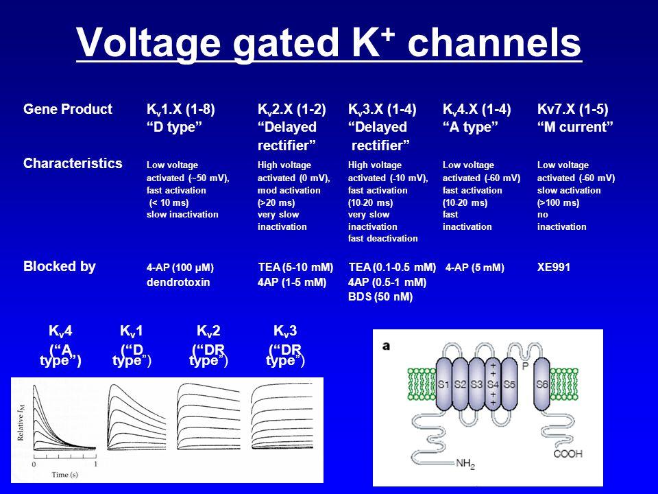 """Voltage gated K + channels K v 4 (""""A type"""") K v 1 (""""D type"""") K v 2 (""""DR type"""") K v 3 (""""DR type"""") Gene ProductK v 1.X (1-8)K v 2.X (1-2)K v 3.X (1-4)K"""