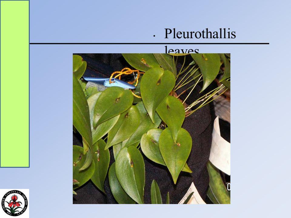 Pleurothallis leaves