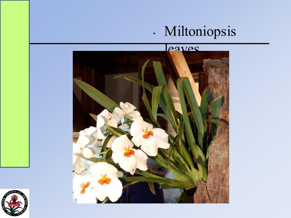 Miltoniopsis leaves