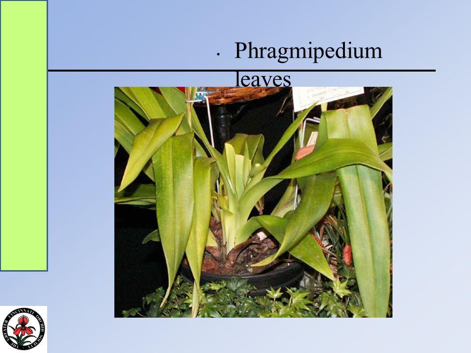 Phragmipedium leaves