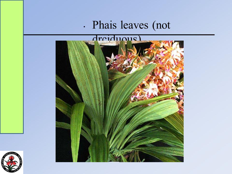 Phais leaves (not drciduous)