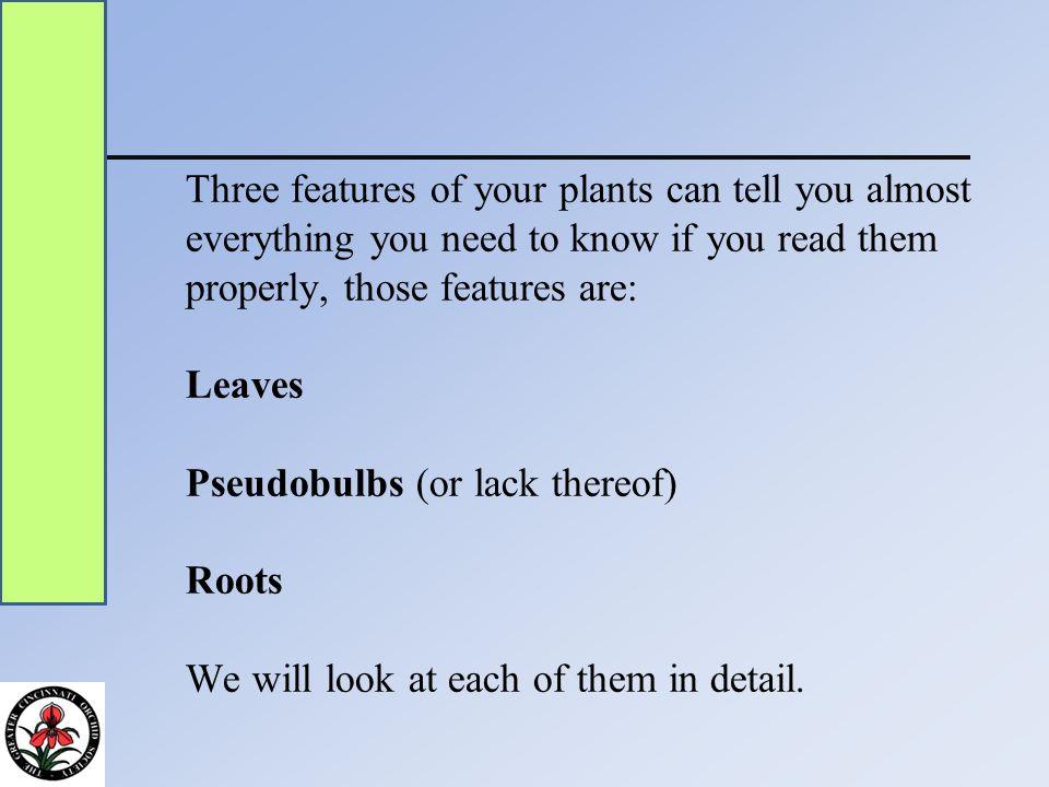 Phragmipedium roots