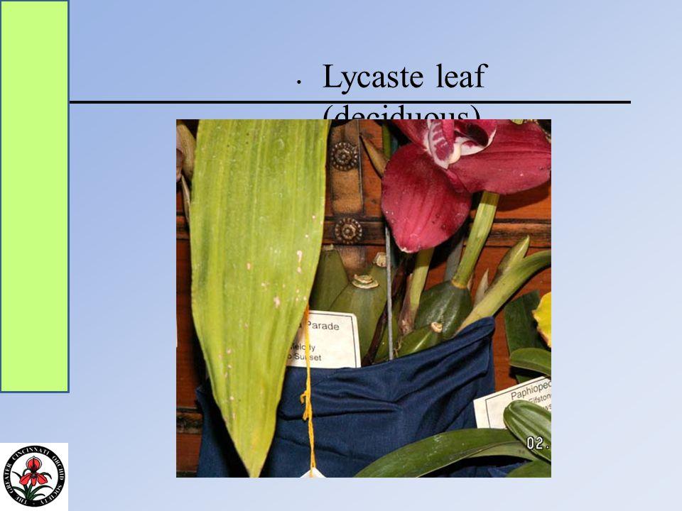 Lycaste leaf (deciduous)