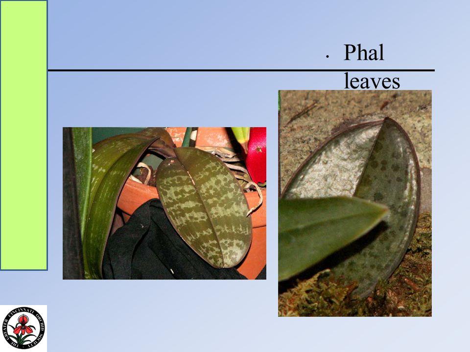 Phal leaves