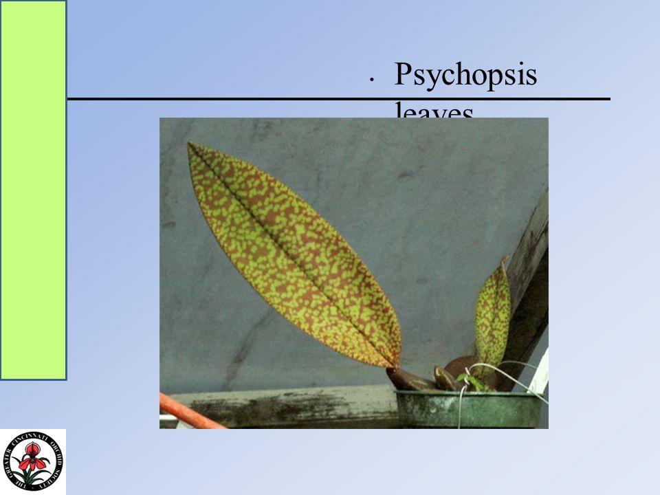 Psychopsis leaves
