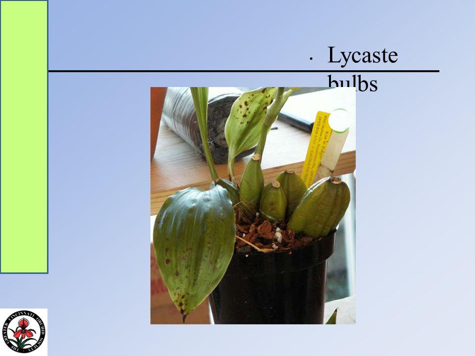 Lycaste bulbs