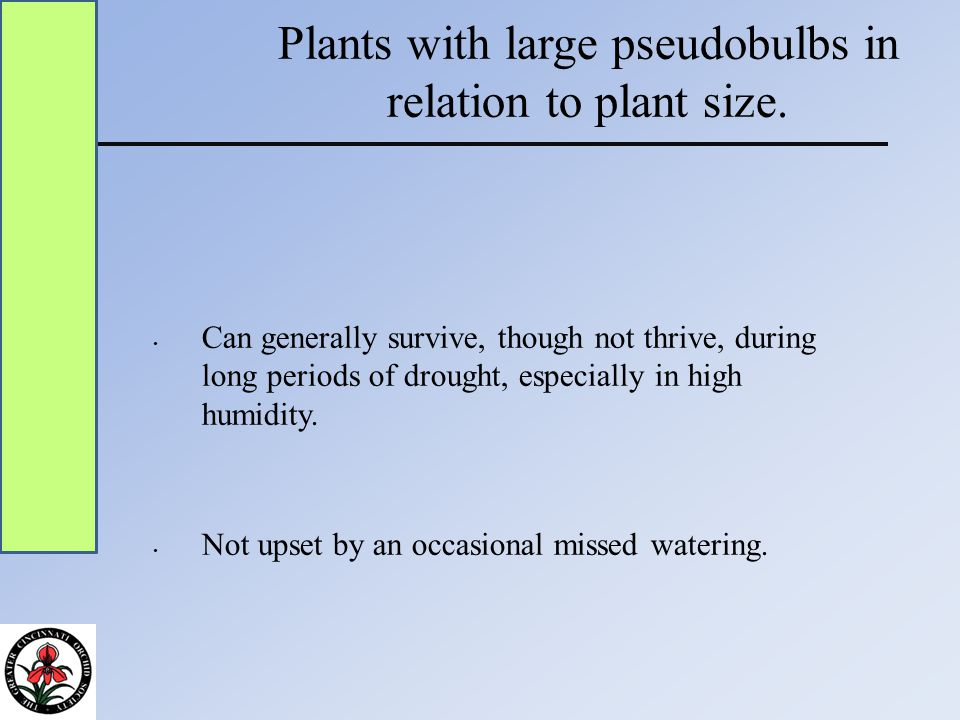 Plants with large pseudobulbs in relation to plant size.