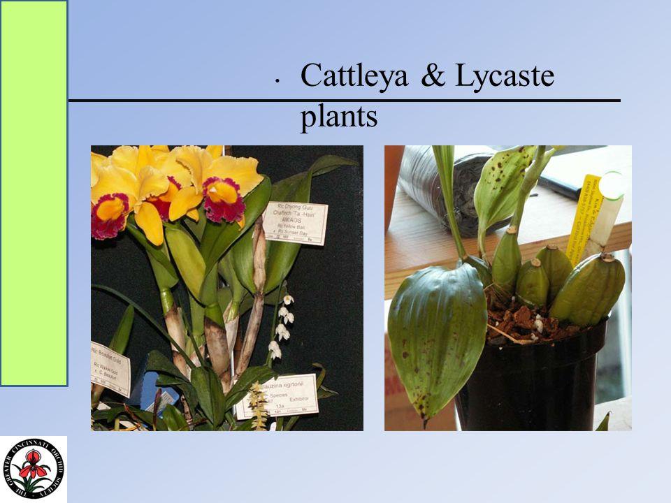 Cattleya & Lycaste plants