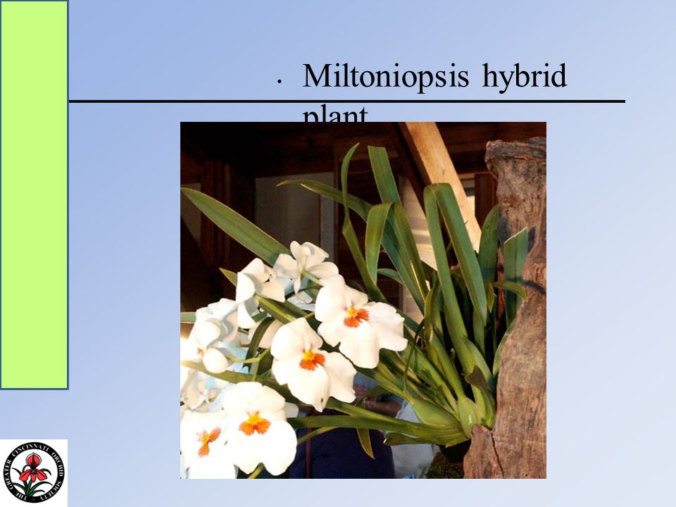Miltoniopsis hybrid plant