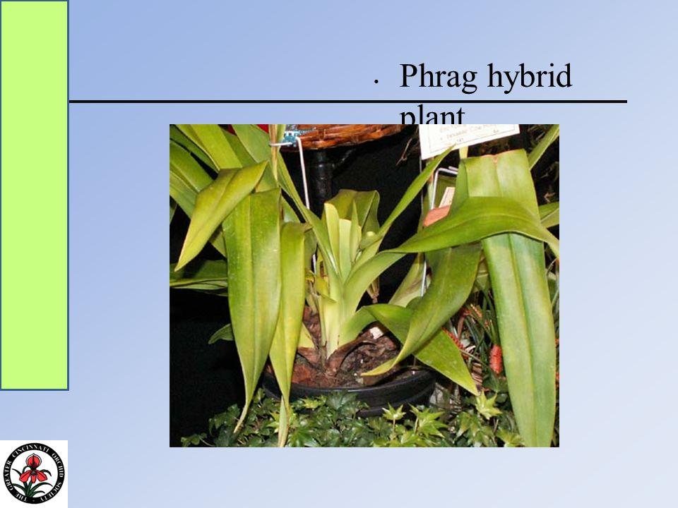 Phrag hybrid plant