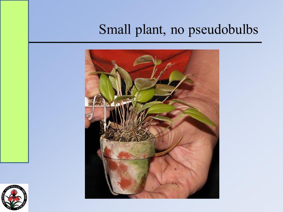 Small plant, no pseudobulbs