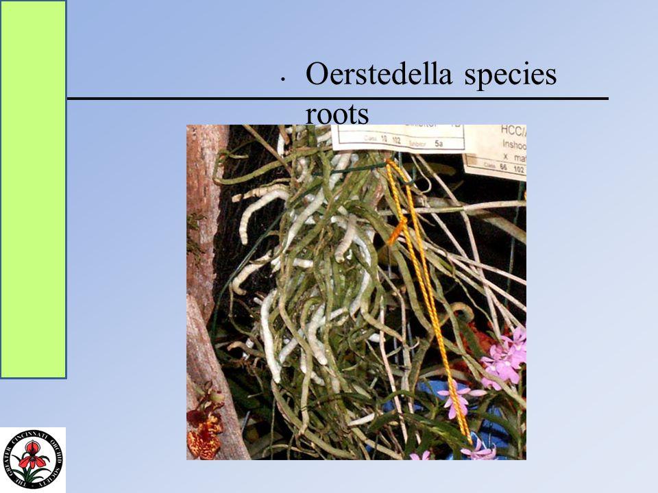 Oerstedella species roots