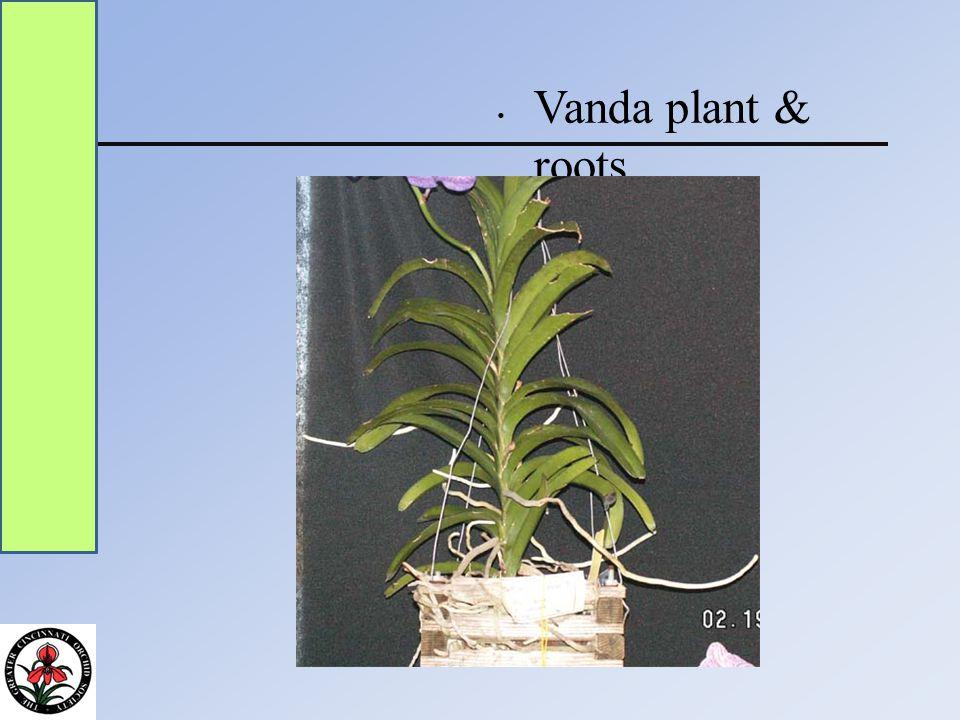 Vanda plant & roots