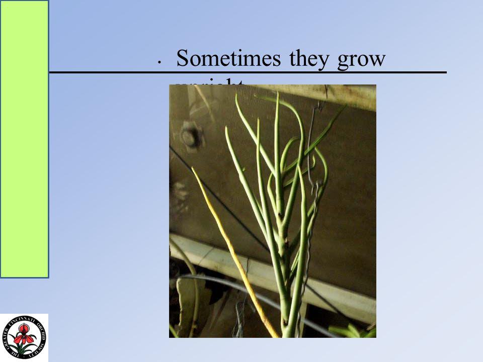 Sometimes they grow upright